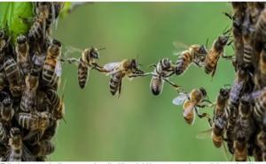 MALE RADILICE: Pčele proglašene najvažnijim bićima na planetu bez kojih nema života