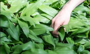 SRIJEMUŠ ili MEDVJEĐI LUK – prirodni lijek, recepti i kako se jede