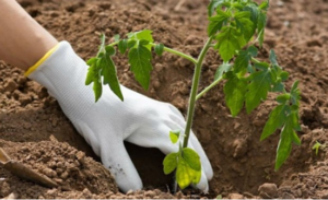 Biljke koje trebate posaditi pored paradajza da dobijete više plodova