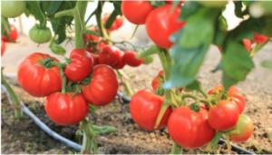 Da bi imali bogat i sočan plod paradajza uradite ovo obavezno. Detaljno uputstvo (VIDEO)