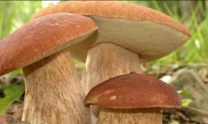 Čudotvorna gljiva Vrganj: Može da uništi ćelije raka debelog creva, ublažava upale, dobar za mršavljenje…