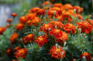 Neven i kadifa PRIRODNI zaštitnici organskog i zdravog vrta