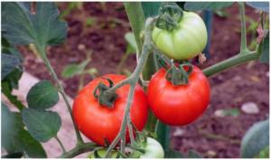Šta posaditi pored PARADAJZA? Otkrivamo vam dobre i loše komšije paradajza
