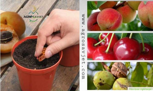 Kako PRAVILNO posaditi voćku iz KOŠTICE?