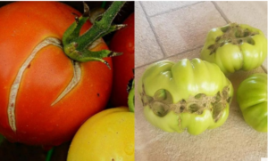 Zašto dolazi do deformacije plodova PARADAJZA?
