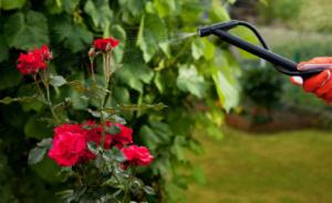Kako podstaći cvjetanje RUŽA – Šta raditi sa ružama kada precvjetaju