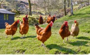 Ove trikove morate znati ako uzgajate kokoške u dvorištu!