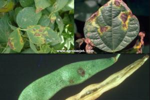 Bakterijska plamenjača PASULJA: Zaštitite vaš pasulj od ove opasne bolesti