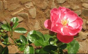 Udružena sadnja: Ruže najbolje rastu pored ovih biljaka