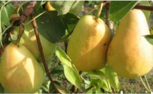 Kruškina buva – tretman koji čuva voćnjak od ove štetočine!
