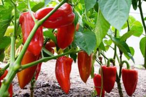 Zaštitite vaše biljke uz pomoć ČAJA OD KAMILICE i izbjegnite upotrebu hemijskih preparata