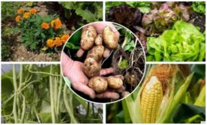 10 biljaka uz koje KROMPIR daje bolji ukus i veći PRINOS