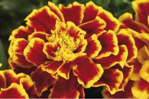 10 razloga zašto treba da sadite kadife u bašti: Nema korisnijeg cveta od ovog!