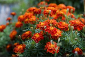 Kadifa kao salata i kao organsko đubrivo – Pogledajte 10 razloga zašto saditi ovaj cvijet!