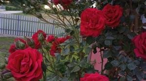 Ovako ćete pravilno posaditi ruže