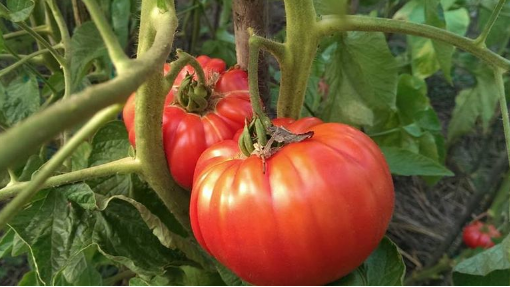 Najbolji način da sačuvate sjeme paradajza za sljedeću godinu
