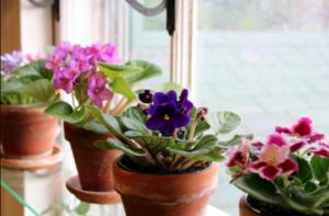 Uz ove trikove vaše ljubičice će stalno davati raskošne cvjetove!