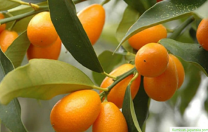 Šta je KUMKVAT, kako se jede i kako da sami uzgojite ovu ljekovitu voćku