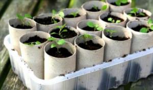 Uzgojite sadnice u rolnama toalet papira