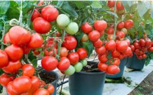 Posadite paradajz u kante – Prvi plodovi već u junu!