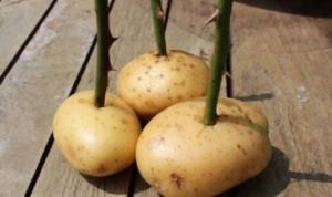 Gajite ruže iz krompira – Trik profesionalnih baštovana! /VIDEO/