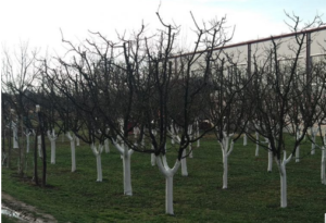 Stabla voća odjednom ne daju plodove – Evo i zašto!