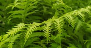 Jastuk od ove biljke liječi sve bolesti i bolove povezane sa kičmom, giht, reumu, grčeve