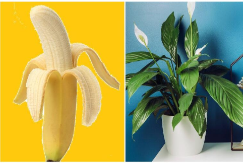 OVO PRIRODNO ĐUBRIVO OPORAVLJA I UVELE BILJKE, A ZDRAVE UDVOSTRUČI: Treba vam samo kora od banane! (RECEPT)