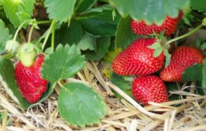 Trikovi i ideje za uspješan uzgoj JAGODA (FOTO+VIDEO)