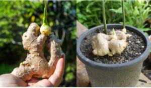 JEDNA OD NAJLJEKOVITIJIH BILJAKA: Evo kako možete uzgojiti đumbir u saksiji kod kuće